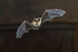 آیا خفاش ها می توانند ما را به سمت آب پاک در صحرا هدایت کنند؟