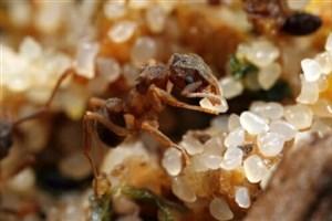 قدرت آنتیبیوتیک میکروب حشرات