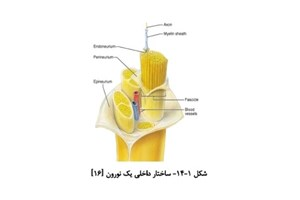 بهبود روشهای ترمیم نخاع با استفاده از میدان مغناطیسی ایستا (SMF)