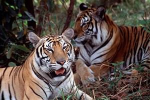نابودی زیستگاه ببر بنگال براثر تغییرات اقلیمی