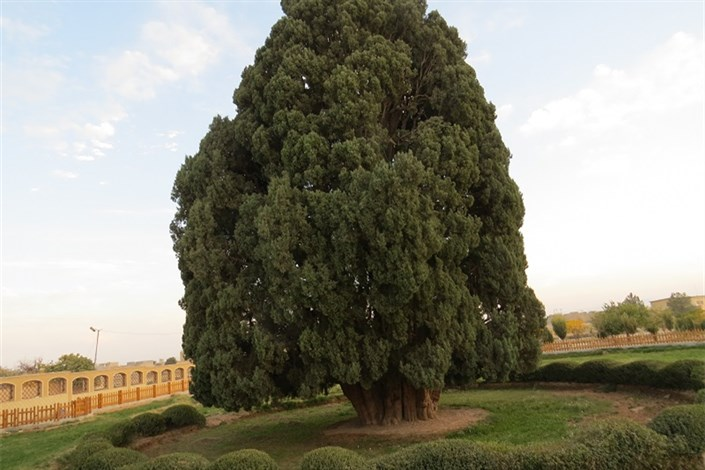 سرو ۴۵۰۰ ساله ابرکوه