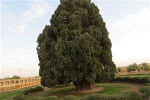 تلاش برای ثبت جهانی سرو ۴۵۰۰ ساله ابرکوه، کهنسالترین موجود زنده در ایران
