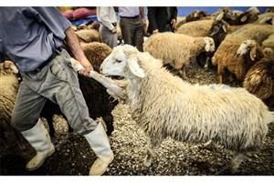 انهدام باند قاچاق دام زنده /کشف ۳۰۰ راس گوسفند از قاچاقچیان