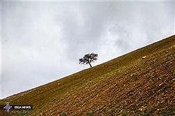 تک درخت بهاری