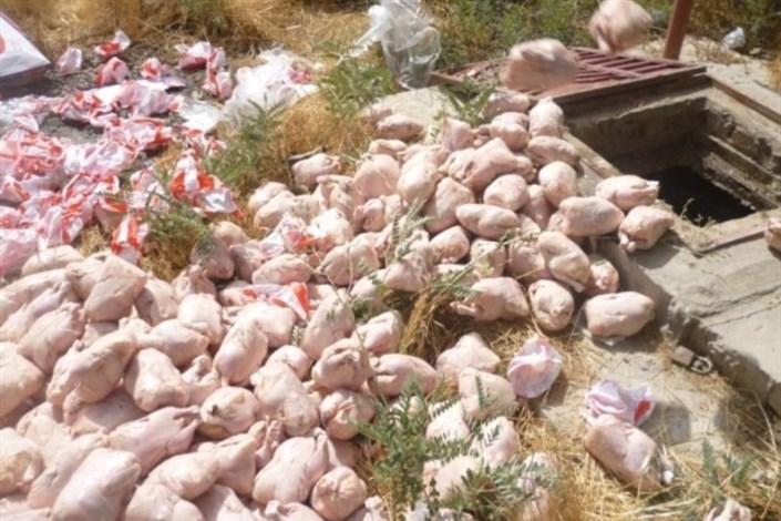 معدوم سازی 3500 کیلو مرغ فاسد