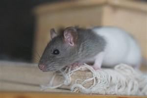 افزایش عملکردهای شناختی در موشهای پیر