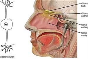 بازسازی بافت بینی با سلولهای بنیادی