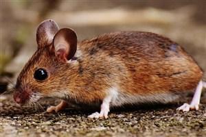 محققان موشها را شجاعتر کردند