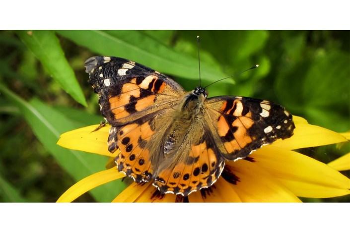 حمله پروانهها به مزارع