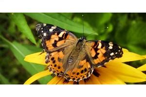 حمله پروانهها به مزارع استان تهران