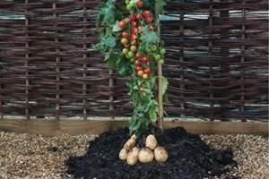 گیاه هیبریدی با محصول همزمان گوجهفرنگی و سیبزمینی