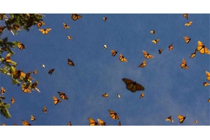 چرایی بازگشت پروانه ها  به تهران