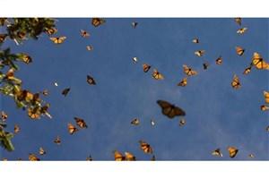 چرایی  بازگشت پروانه ها به پایتخت/مشکلی مردم را تهدید نمیکند