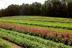 ایران بزرگ ترین تولید کننده گل محمدی در دنیا
