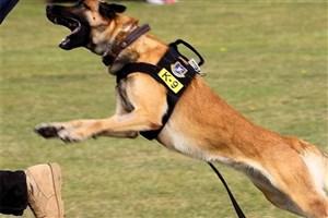 لزوم توجه به تغذیه سگ های آموزش دیده پلیس