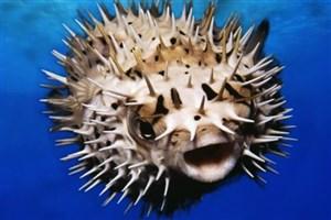 استفاده از سم بادکنک ماهی به عنوان مسکن