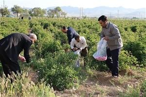 آغاز برداشت گل محمدی از مزرعه آموزشی و تحقیقاتی دانشگاه آزاد اسلامی شهرکرد