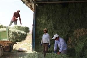 برداشت بیش از 7 تن یونجه از مزرعه دانشگاه آزاد اسلامی شهرکرد