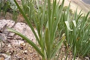 «بن سرخ» گیاهی موثر در درمان سرطان سینه