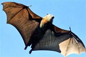 خفاش ها درمان گران جدید سرطان