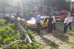 سقوط ناگهانی  درخت چنار ۱۰ متری در خیابان شریعتی