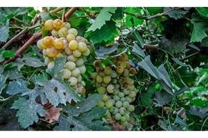دومین جشنواره برداشت انگور روستای غزاویه بزرگ
