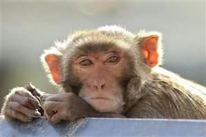 ماجرای حمله میمونهای وحشی به سیاهکل چه بود؟