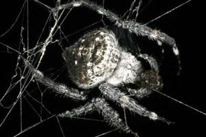کشف پروتئینی جدید در تار عنکبوت!
