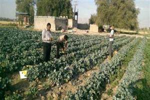 برهانیفر: صیفیجات ارگانیک در مزارع واحد کرج تولید میشود