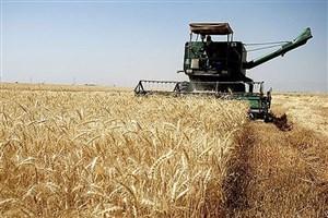 آغاز برداشت گندم از مزرعه آموزشی و تحقیقاتی دانشگاه آزاد اسلامی شهرکرد