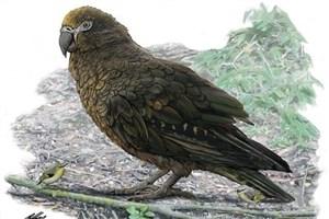 کشف فسیل طوطی ۱۹ میلیون ساله با ارتفاع یک متر