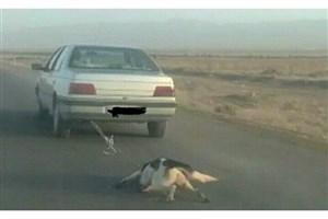 صلاحیت روانی «رانندگان حیوان آزار»بررسی می شود/پاسخ به انتشار عکس حیوان آزاری در یاسوج