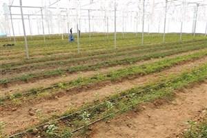 برداشت اولین مرحله بذر هیبرید خیار از گلخانه دانشگاه آزاد اسلامی دهاقان