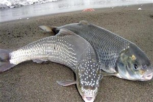 غلظت جیوه در ماهیهای شمال پایینتر از استانداردها است