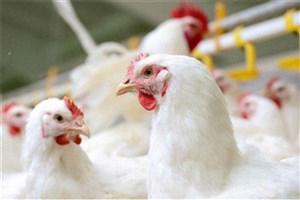 استفاده از فناوری نانو برای حل مقاومت آنتیبیوتیکی در مرغها