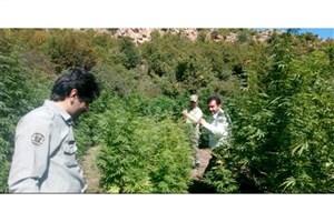کشف یک مزرعه ماریجوانا در پارک ملی پابند