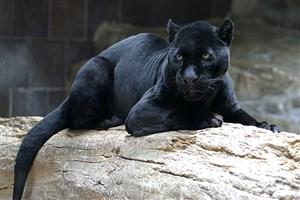 پلنگ سیاه از باغ وحشی در فرانسه دزدیده شد