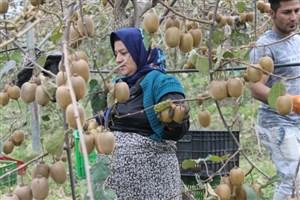 صادرات کیوی آزاد شد