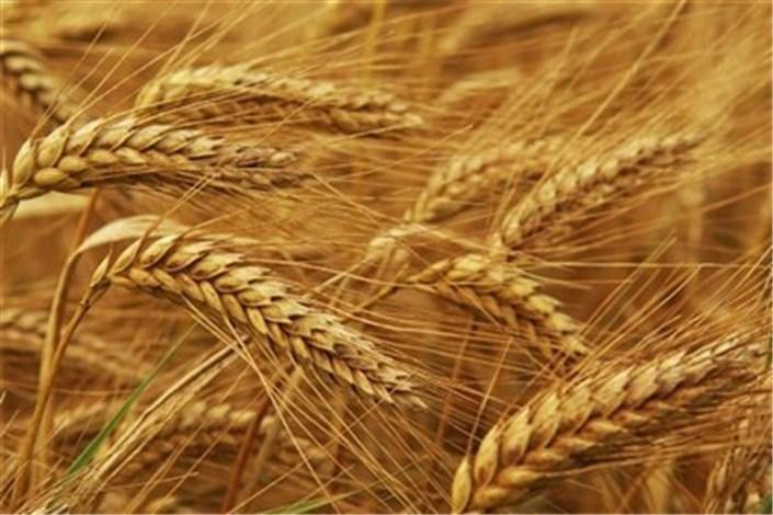 کاهش قیمت گندم