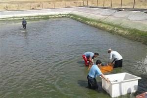 آغاز صید ماهی از مزرعه دانشگاه آزاد اسلامی اقلید