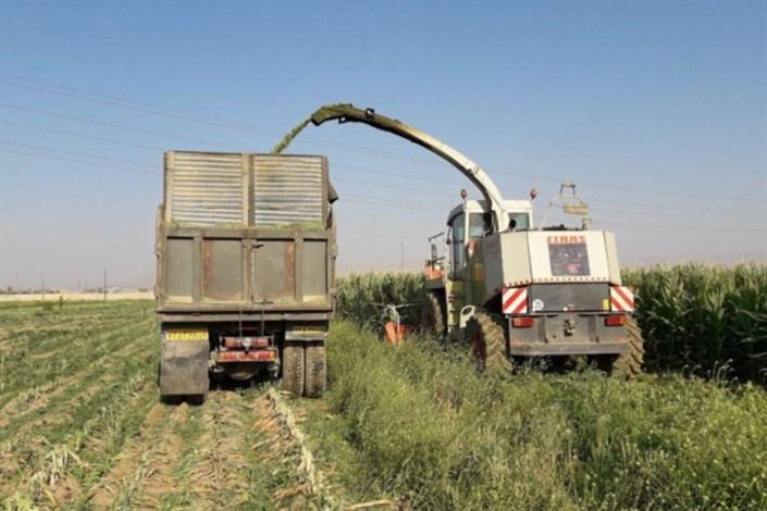 ۶۰۰ تن ذرت علوفهای از زمینهای تحقیقاتی دانشگاه آزاد اسلامی اراک برداشت شد