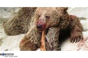 حکم تعجببرانگیز؛ ضاربان خرس سوادکوهی تبرئه شدند