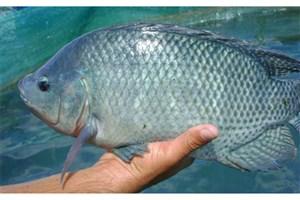 شکایت از رئیس سازمان محیط زیست به دنبال صدور مجوز پرورش ماهی تیلاپیا+سند