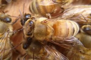 زنبورها ریاضی دانهای ماهری هستند