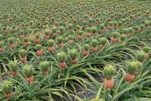 صادرات آناناس گلخانهای واحد گرگان به امارات