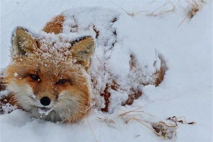 احتمال نزدیک شدن حیوانات به مناطق مسکونی