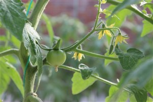 بزرگترین گلخانه هیدروپونیک در شهرستان رفسنجان به ثمر نشست