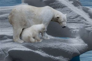 خطر آبشدن یخ دریاها برای خرسهای قطبی