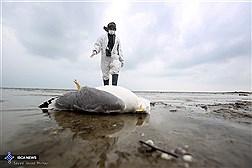 جمع آوری لاشه پرندگان در جزیره آشوراده