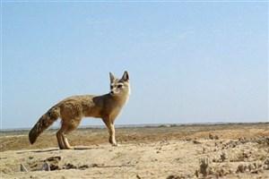 تحویل 3 قلاده  توله روباه به محیط زیست